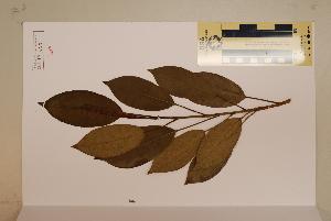 (Ficus triradiata - CNS_CC_M_A7)  @11 [ ] Copyright (2010) Australia Tropical Herbarium CSIRO, Queensland Government and James Cook University