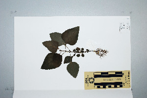 (Adenostemma - CNS_CC_K_A6)  @13 [ ] Unspecified (default): All Rights Reserved  Australia Tropical Herbarium Unspecified