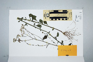 (Cyanthillium - CNS_CC_K_C6)  @11 [ ] Unspecified (default): All Rights Reserved  Australia Tropical Herbarium Unspecified