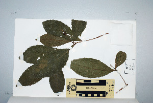 (Alchornea - CNS_CC_M_D2)  @11 [ ] Unspecified (default): All Rights Reserved  Australia Tropical Herbarium Unspecified