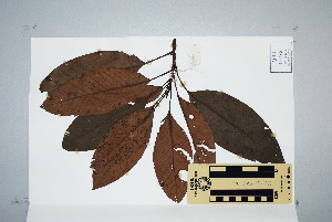 (Proteales - CNS_CC_6079_A5)  @11 [ ] Unspecified (default): All Rights Reserved  Australia Tropical Herbarium Unspecified