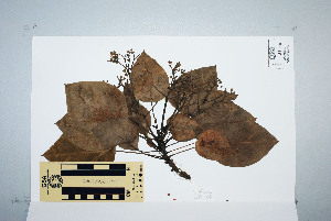 (Hernandiaceae - CNS_CC_M_C12)  @11 [ ] Unspecified (default): All Rights Reserved  Australia Tropical Herbarium Unspecified