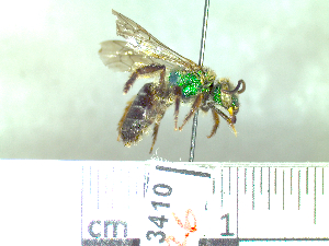 (Agapostemon sp - BB3410)  @14 [ ] by-nc-nd - Creative Commons - Attribution Non-Comm No Derivative (2011) Dr. Berry Brosi Emory University