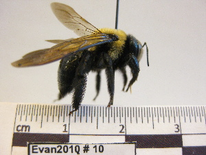 (Xylocopa sp - BBEvan2010 10)  @14 [ ] CreativeCommons - Attribution Non-Commercial No Derivatives (2011) Dr. Berry Brosi Emory University