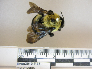 (Bombus griseocollis - BBEvan2010 37)  @15 [ ] CreativeCommons - Attribution Non-Commercial No Derivatives (2011) Dr. Berry Brosi Emory University