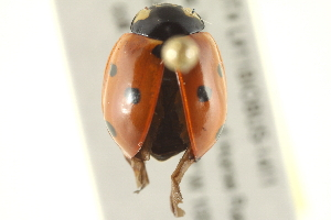 (Coccinellidae - BIOUG02058-C07)  @16 [ ] CreativeCommons - Attribution Non-Commercial Share-Alike (2012) BIO Photography Group Biodiversity Institute of Ontario