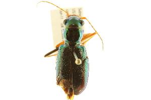 (Megacephala virginica - BIOUG02015-A10)  @14 [ ] CreativeCommons - Attribution Non-Commercial Share-Alike (2012) CBG Photography Group Centre for Biodiversity Genomics