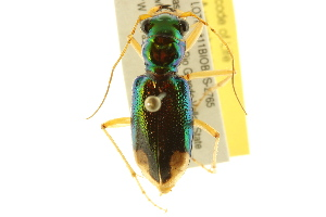 (Tetracha - BIOUG02015-B04)  @14 [ ] CreativeCommons - Attribution Non-Commercial Share-Alike (2012) BIO Photography Group Biodiversity Institute of Ontario