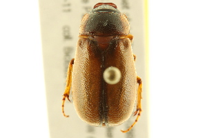 (Phyllophaga bruneri - BIOUG02026-D09)  @14 [ ] CreativeCommons - Attribution Non-Commercial Share-Alike (2012) CBG Photography Group Centre for Biodiversity Genomics