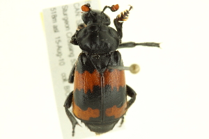 (Nicrophorus investigator - 10PCCOL-0954)  @14 [ ] CreativeCommons - Attribution Non-Commercial Share-Alike (2010) BIO Photography Group Biodiversity Institute of Ontario