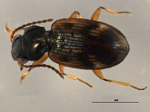 (Bembidion mimus - BIOUG00669-C07)  @13 [ ] CreativeCommons - Attribution Non-Commercial Share-Alike (2010) BIO Photography Group Biodiversity Institute of Ontario