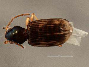 (Bembidion impotens - BIOUG00669-F06)  @13 [ ] CreativeCommons - Attribution Non-Commercial Share-Alike (2010) CBG Photography Group Centre for Biodiversity Genomics