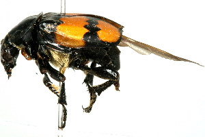 (Nicrophorus defodiens - 09BBECO-0051)  @14 [ ] CreativeCommons - Attribution Non-Commercial Share-Alike (2010) Unspecified Biodiversity Institute of Ontario
