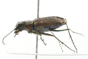 (Cicindela - 09BBECO-0274)  @16 [ ] CreativeCommons - Attribution Non-Commercial Share-Alike (2010) BIO Photography Group Biodiversity Institute of Ontario