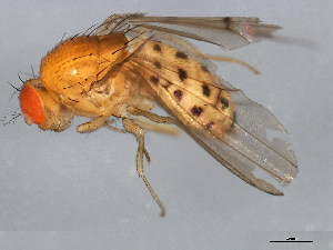 (Drosophila transversa - 10BBCDIP-0877)  @14 [ ] CreativeCommons - Attribution Non-Commercial Share-Alike (2010) BIO Photography Group Biodiversity Institute of Ontario