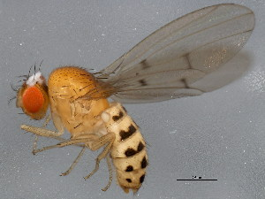 (Drosophila recens - 10BBCDIP-1028)  @14 [ ] CreativeCommons - Attribution Non-Commercial Share-Alike (2010) CBG Photography Group Centre for Biodiversity Genomics