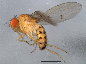 (Drosophila recens - 10BBCDIP-1062)  @15 [ ] CreativeCommons - Attribution Non-Commercial Share-Alike (2010) BIO Photography Group Biodiversity Institute of Ontario