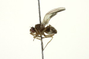 (Drosophila sp - PCPP10-0350)  @12 [ ] CreativeCommons - Attribution Non-Commercial Share-Alike (2010) BIO Photography Group Biodiversity Institute of Ontario
