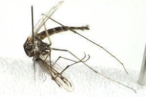(Aedes pullatus - 10BBCDIP-2298)  @13 [ ] CreativeCommons - Attribution Non-Commercial Share-Alike (2010) BIO Photography Group Biodiversity Institute of Ontario