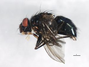 (Calliphora alaskensis - 09BBEDI-0708)  @13 [ ] CreativeCommons - Attribution Non-Commercial Share-Alike (2010) Unspecified Biodiversity Institute of Ontario