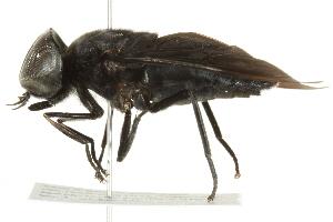 (Tabanus atratus - BIOUG01787-D05)  @11 [ ] CreativeCommons - Attribution Non-Commercial Share-Alike (2012) BIO Photography Group Biodiversity Institute of Ontario