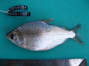 (Psectrogaster - UMSS 10571)  @15 [ ] Copyright (2011) F.M. Carvajal-Vallejos FAUNAGUA