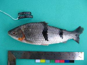 (Leporinus trifasciatus - UMSS 10582)  @11 [ ] Copyright (2011) F.M. Carvajal-Vallejos FAUNAGUA
