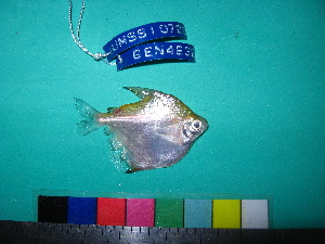 (Stethaprioninae - UMSS 10729)  @14 [ ] Copyright (2011) F.M. Carvajal-Vallejos FAUNAGUA