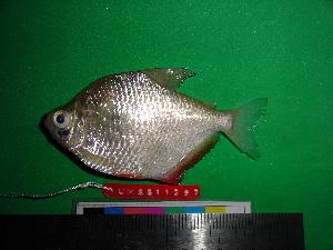 (Tetragonopterinae - UMSS 11397)  @15 [ ] Copyright (2011) F.M. Carvajal-Vallejos FAUNAGUA