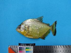 (Serrasalmus maculatus - UMSS 11577)  @15 [ ] Copyright (2011) F.M. Carvajal-Vallejos FAUNAGUA
