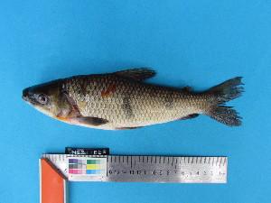 (Leporinus trifasciatus - UMSS 11626)  @11 [ ] Copyright (2011) F.M. Carvajal-Vallejos FAUNAGUA
