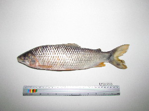 (Leporinus - UMSS 12565)  @14 [ ] Copyright (2011) F.M. Carvajal-Vallejos FAUNAGUA