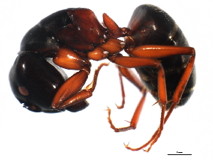 (Camponotus modoc - 10BBCFO-0358)  @15 [ ] CreativeCommons - Attribution Non-Commercial Share-Alike (2010) BIO Photography Group Biodiversity Institute of Ontario