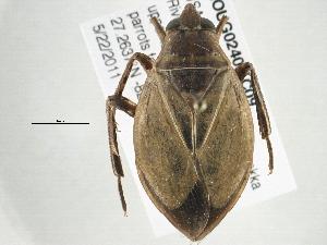 (Belostomatinae - BIOUG02409-C09)  @15 [ ] CreativeCommons - Attribution Non-Commercial Share-Alike (2013) BIO Photography Group Biodiversity Institute of Ontario