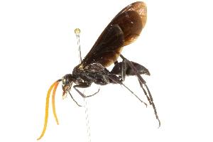 (Pepsis elegans - BIOUG02463-B03)  @14 [ ] CreativeCommons - Attribution Non-Commercial Share-Alike (2013) CBG Photography Group Centre for Biodiversity Genomics