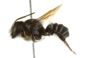(Megachile pruina - BIOUG02475-C11)  @13 [ ] CreativeCommons - Attribution Non-Commercial Share-Alike (2013) BIO Photography Group Biodiversity Institute of Ontario