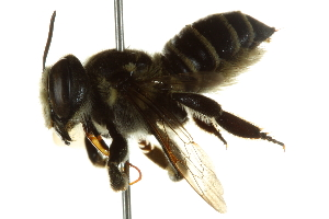 (Megachile albitarsis - BIOUG02475-D10)  @14 [ ] CreativeCommons - Attribution Non-Commercial Share-Alike (2013) BIO Photography Group Biodiversity Institute of Ontario