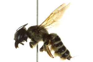 (Megachile pugnata pomonae - BIOUG02475-F11)  @14 [ ] CreativeCommons - Attribution Non-Commercial Share-Alike (2013) BIO Photography Group Biodiversity Institute of Ontario