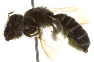 (Megachile frugalis pseudofrugalis - BIOUG02475-H05)  @13 [ ] CreativeCommons - Attribution Non-Commercial Share-Alike (2013) BIO Photography Group Biodiversity Institute of Ontario