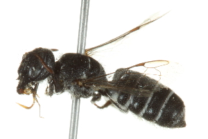 (Megachile odontostoma - BIOUG02479-C08)  @14 [ ] CreativeCommons - Attribution Non-Commercial Share-Alike (2013) BIO Photography Group Biodiversity Institute of Ontario