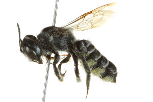 (Megachile newberryae - BIOUG02479-C10)  @14 [ ] CreativeCommons - Attribution Non-Commercial Share-Alike (2013) BIO Photography Group Biodiversity Institute of Ontario