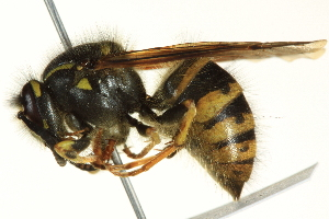 (Dolichovespula alpicola - BIOUG02974-H10)  @14 [ ] CreativeCommons - Attribution Non-Commercial Share-Alike (2012) CNC/BIO Photography Group Centre for Biodiversity Genomics