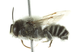 (Megachile amica - 10BBHYM-0700)  @15 [ ] CreativeCommons - Attribution Non-Commercial Share-Alike (2010) Biodiversity Institute of Ontario 2010 Biodiversity Institute of Ontario