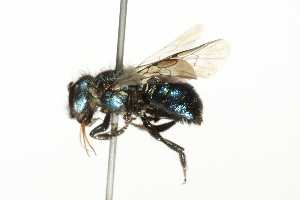 (Osmia tristella - 10BBCHY-3317)  @13 [ ] CreativeCommons - Attribution Non-Commercial Share-Alike (2011) BIO Photography Group Biodiversity Institute of Ontario