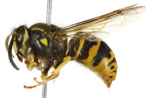 (Dolichovespula arenaria - 10BBCHY-3398)  @15 [ ] CreativeCommons - Attribution Non-Commercial Share-Alike (2011) BIO Photography Group Biodiversity Institute of Ontario