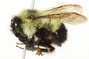 (Bombus vagans - 10BBCHY-3186)  @15 [ ] CreativeCommons - Attribution Non-Commercial Share-Alike (2011) BIO Photography Group Biodiversity Institute of Ontario