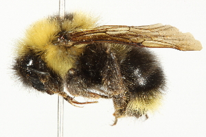 (Bombus fernaldae - 10BBCHY-3193)  @15 [ ] CreativeCommons - Attribution Non-Commercial Share-Alike (2011) BIO Photography Group Biodiversity Institute of Ontario