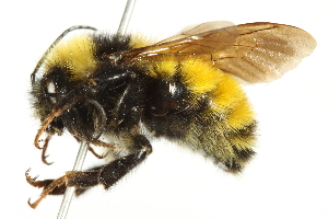 (Bombus borealis - 10BBCHY-3197)  @15 [ ] CreativeCommons - Attribution Non-Commercial Share-Alike (2011) CBG Photography Group Centre for Biodiversity Genomics