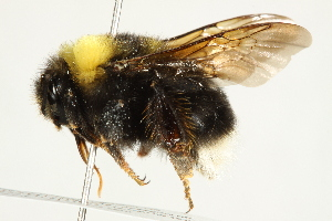 (Bombus occidentalis occidentalis - 10BBCHY-3201)  @14 [ ] CreativeCommons - Attribution Non-Commercial Share-Alike (2011) BIO Photography Group Biodiversity Institute of Ontario