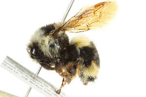 (Bombus bifarius - 10BBCHY-3204)  @16 [ ] CreativeCommons - Attribution Non-Commercial Share-Alike (2011) CBG Photography Group Centre for Biodiversity Genomics